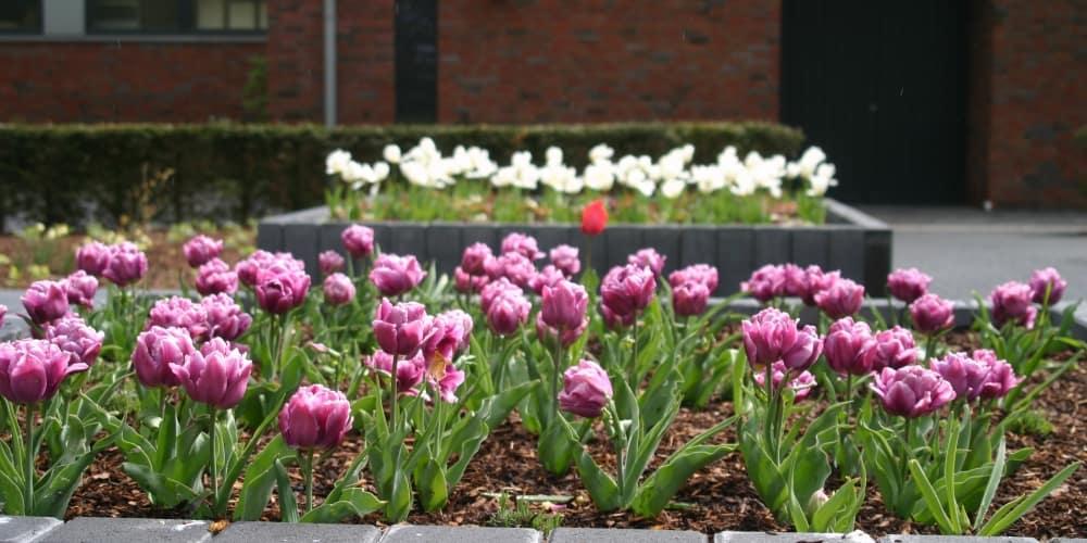 Frühlingsbepflanzung eines Hochbeetes mit Blumenzwiebelgewächsen